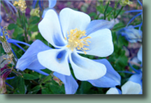 Columbine in Steamboat Springs, Colorado